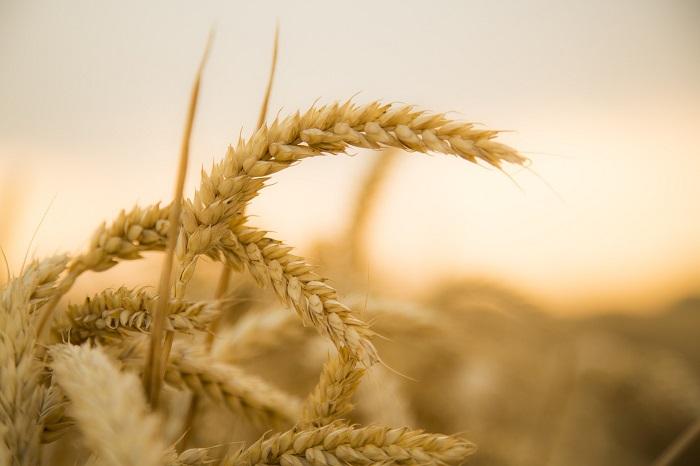 Pšenica a jačmeň